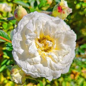 綺麗に咲き誇る京成バラ園のバラ2020-24