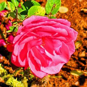 綺麗に咲き誇る京成バラ園のバラ2020-25