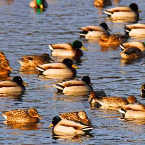 夏目の堰の白鳥と鴨2021-3