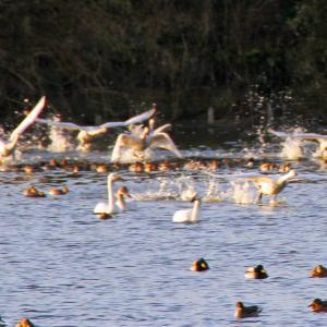 夏目の堰の白鳥と鴨2021-5