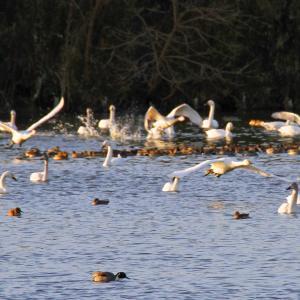 夏目の堰の白鳥と鴨2021-8