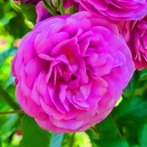 綺麗に咲き誇る京成バラ園のバラ2021-10
