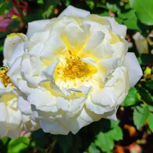 綺麗に咲き誇る京成バラ園のバラ2021-34