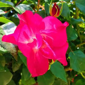 綺麗に咲き誇る京成バラ園のバラ2021-35