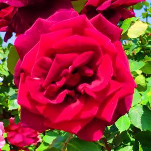 綺麗に咲き誇る京成バラ園のバラ2021-33
