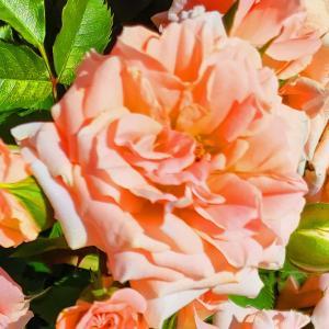 綺麗に咲き誇る京成バラ園のバラ2021-38