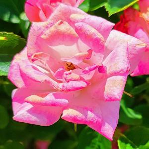 綺麗に咲き誇る京成バラ園のバラ2021-39