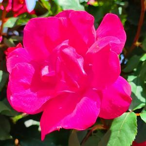 綺麗に咲き誇る京成バラ園のバラ2021-40