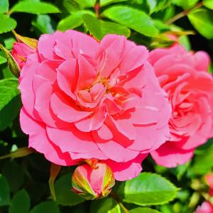 綺麗に咲き誇る京成バラ園のバラ2021-41