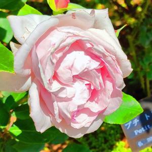 綺麗に咲き誇る京成バラ園のバラ2021-42