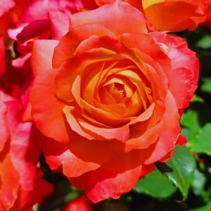 綺麗に咲き誇る京成バラ園のバラ2021-43