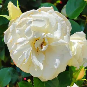 綺麗に咲き誇る京成バラ園のバラ2021-45