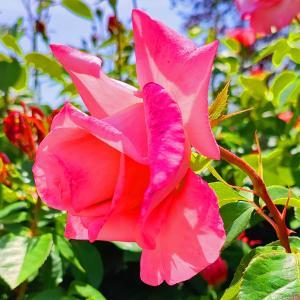 綺麗に咲き誇る京成バラ園のバラ2021-46