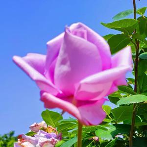 綺麗に咲き誇る京成バラ園のバラ2021-47