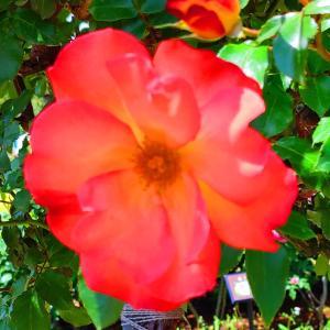 綺麗に咲き誇る京成バラ園のバラ2021-48