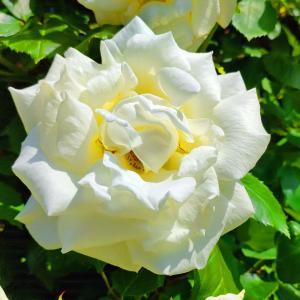綺麗に咲き誇る京成バラ園のバラ2021-51