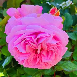 綺麗に咲き誇る京成バラ園のバラ2021-54