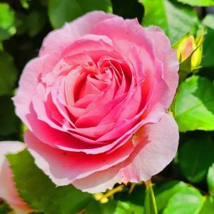 綺麗に咲き誇る京成バラ園のバラ2021-55