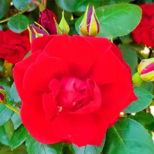 綺麗に咲き誇る京成バラ園のバラ2021-56