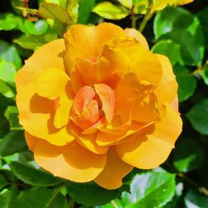 綺麗に咲き誇る京成バラ園のバラ2021-58