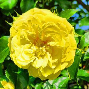 綺麗に咲き誇る京成バラ園のバ2021ラ-59