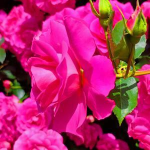 綺麗に咲き誇る京成バラ園のバラ2021-60