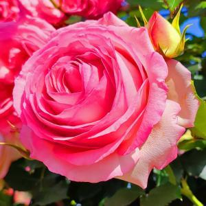 綺麗に咲き誇る京成バラ園のバラ2021-61