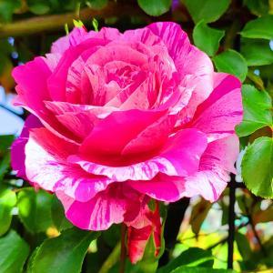 綺麗に咲き誇る京成バラ園のバラ2021-62