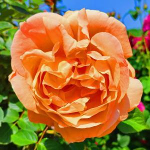 綺麗に咲き誇る京成バラ園のバラ2021-63