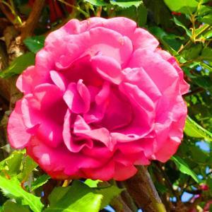 綺麗に咲き誇る京成バラ園のバラ2021-64