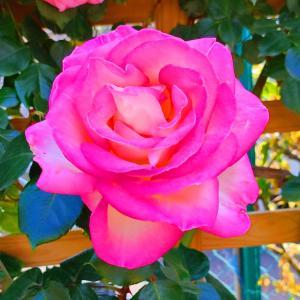綺麗に咲き誇る京成バラ園のバラ2021-66