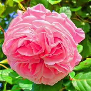 綺麗に咲き誇る京成バラ園のバラ2021-67