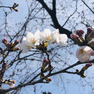 桜が咲いたー!
