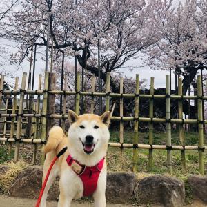 【山梨】神代桜