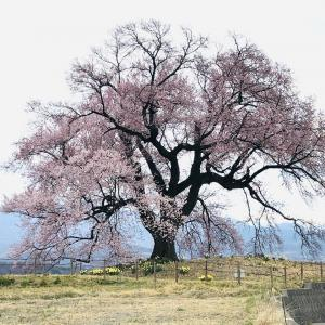 【山梨】わに塚の桜