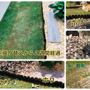 天然芝(姫高麗芝)を張り替えてから2週間経過したお庭の様子