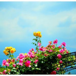 白糸自然公園のバラ@富士宮市