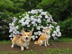 八朔公園の紫陽花