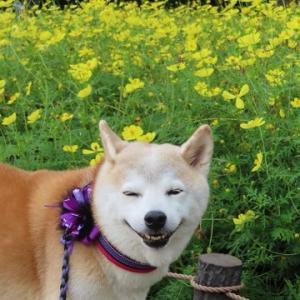 黄色いコスモスと柴犬