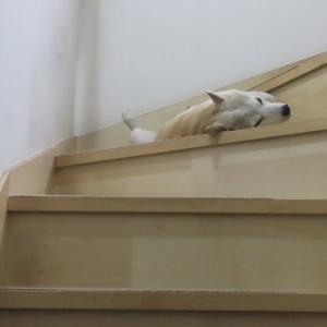 階段でヘソ天