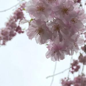 春はピンク