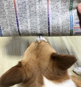 新聞を読むコギ♪