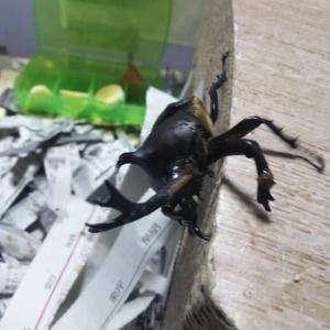 【昆虫】カブトムシ来訪