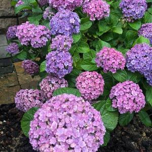 やっぱり紫陽花には雨が似合う
