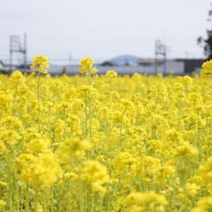 明和町斎宮の「菜の花畑」見てきました~(^^) 2020