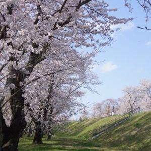 伊勢市「宮川堤の桜」見てきました~(^^)  2020