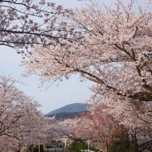 内宮「五十鈴川の桜」見に行ってきました~(^^)  2020