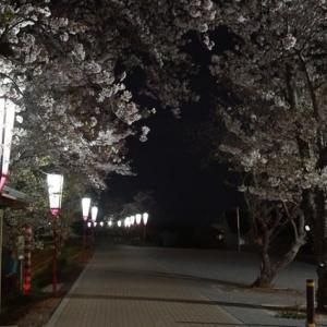 伊勢市「宮川堤の夜桜」見てきました~(^^)  2020