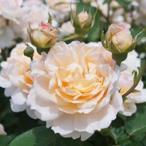 「松阪ベルファームの薔薇」見てきました~(^^) №1 2020