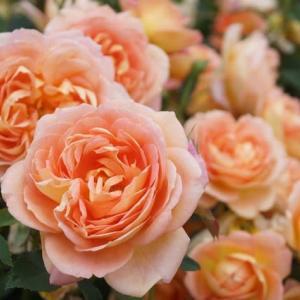 「松阪ベルファームの薔薇」見てきました~(^^) №2 2020